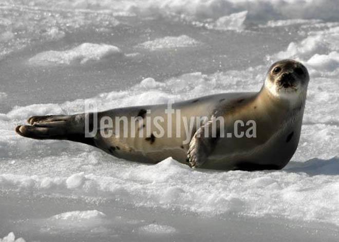 Bay De Verde Seal on Ice February 28 2009