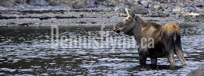 Conception Harbour Moose by Bob Keatings